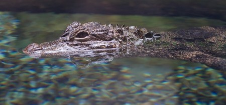 Pools and Wildlife: How Can You Keep the Crocs and Gators Out?